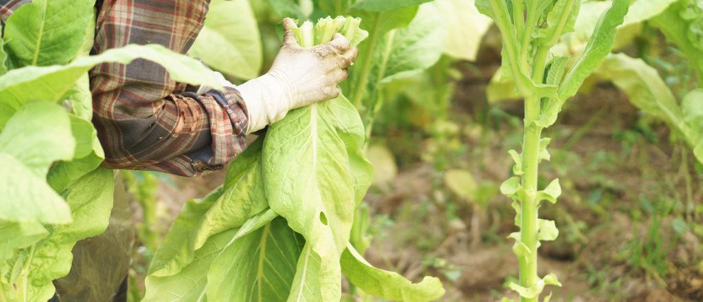 Farmer harvesting tobacco