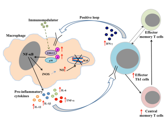 FIgure showing use of novel immunomodulators as an adjunct therapy against TB